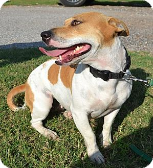 Beagle/Jack Russell Terrier Mix Dog for adoption in Elgin, Oklahoma - Tootsie