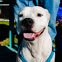 American Bulldog Mix Dog for adoption in Odessa, Texas - Willie nelson
