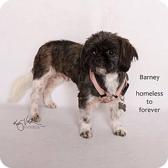 Shih Tzu Mix Dog for adoption in Arcadia, California - Barney