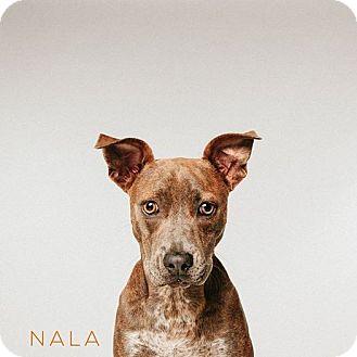 Catahoula Leopard Dog Mix Dog for adoption in Houston, Texas - Nala
