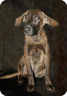 Chesapeake Bay Retriever Mix Dog for adoption in Lufkin, Texas - Fiona
