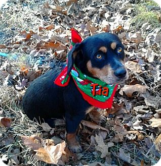 Beagle/Dachshund Mix Dog for adoption in Princeton, Kentucky - Tia