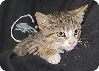 Domestic Shorthair Kitten for adoption in Brooklyn, New York - Sackett