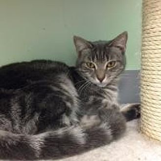 Domestic Mediumhair Cat for adoption in Hudson, Florida - Felicia
