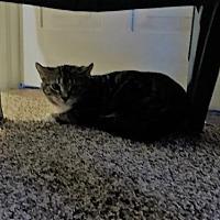 Domestic Mediumhair Kitten for adoption in Trexlertown, Pennsylvania - Clover