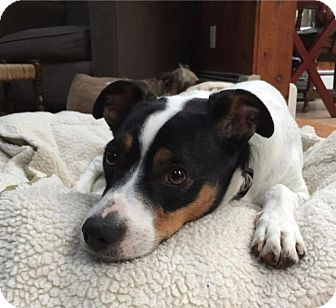 Jack Russell Terrier Mix Dog for adoption in Smithtown, New York - Jett