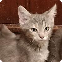 Adopt A Pet :: PEBBLES - Mesa, AZ
