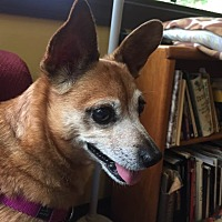 Chihuahua/Corgi Mix Dog for adoption in Frankfort, Illinois - Gladys