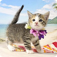 Adopt A Pet :: Syn - Harrisonburg, VA