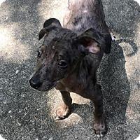 Adopt A Pet :: Buddy - Marlton, NJ