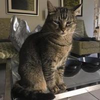 Adopt A Pet :: Amber - Davie, FL