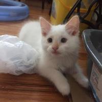 Adopt A Pet :: Ariel - Denver, CO