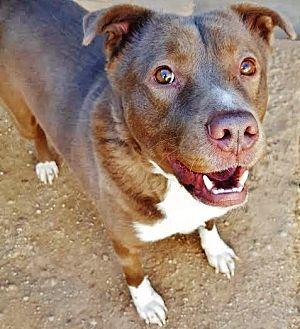 Pit Bull Terrier/Shepherd (Unknown Type) Mix Dog for adoption in Phoenix, Arizona - Cowboy