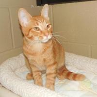 Adopt A Pet :: Pumpkin - Jackson, MI