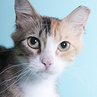 Adopt A Pet :: Torte - Chicago, IL