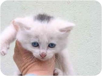 Domestic Shorthair Kitten for adoption in Redondo Beach, California - Snowball - Courtesy