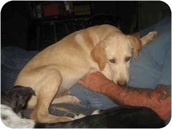 Labrador Retriever Mix Puppy for adoption in Helendle, California - George