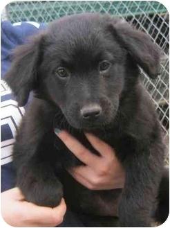 Golden Retriever/Labrador Retriever Mix Puppy for adoption in Wilmington, Delaware - Jenny