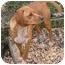 Photo 2 - Beagle/Miniature Pinscher Mix Dog for adoption in Sperryville, Virginia - Annabelle