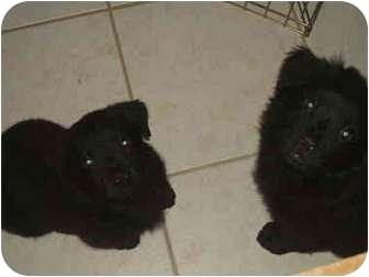 Clumber Spaniel/Chow Chow Mix Puppy for adoption in Sarasota, Florida - Joe Joe