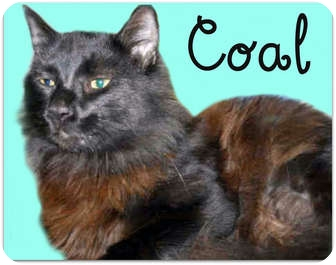 Domestic Longhair Cat for adoption in San Clemente, California - COAL