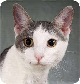 Domestic Shorthair Cat for adoption in Chicago, Illinois - Brick