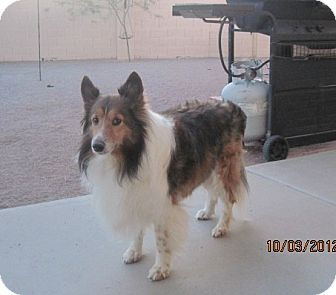 Sheltie, Shetland Sheepdog Dog for adoption in apache junction, Arizona - Shupa