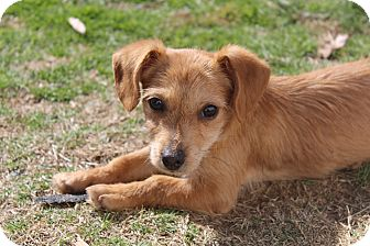 Dachshund/Chihuahua Mix Puppy for adoption in Medina, Tennessee - Tootles