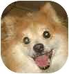 Pomeranian Mix Dog for adoption in Eatontown, New Jersey - Suki