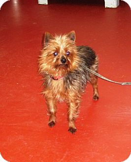 Yorkie, Yorkshire Terrier Mix Dog for adoption in Florence, Indiana - Tiny