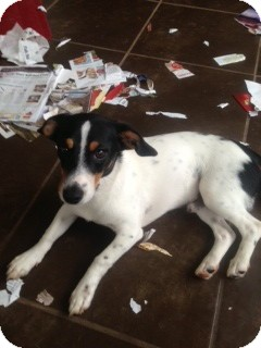 Rat Terrier Mix Puppy for adoption in Columbia, South Carolina - Bodie