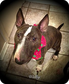 Bull Terrier Dog for adoption in Sachse, Texas - Wally Moon