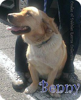 Labrador Retriever/Corgi Mix Dog for adoption in New Jersey, New Jersey - Tinton Falls NJ - Benny