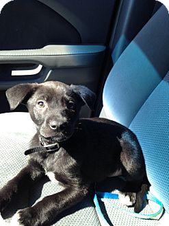 Labrador Retriever Mix Puppy for adoption in Burlington, New Jersey - Peanut