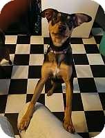 Miniature Pinscher Dog for adoption in Columbus, Ohio - Sambino