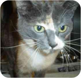 Domestic Shorthair Cat for adoption in Walker, Michigan - Nadia
