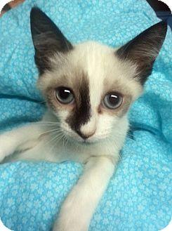 Snowshoe Kitten for adoption in Arcadia, California - Katt