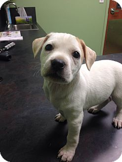 Labrador Retriever/Boxer Mix Puppy for adoption in Nashville, Tennessee - Delta