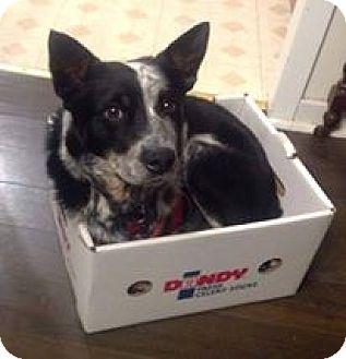 Cattle Dog Mix Dog for adoption in Woodstock, Ontario - Sawyer