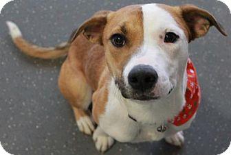 Australian Shepherd/Labrador Retriever Mix Dog for adoption in Truckee, California - Celeste