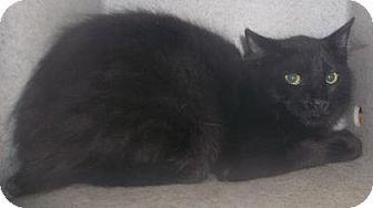 Domestic Mediumhair Cat for adoption in Rapid City, South Dakota - Brittney