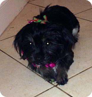 Shih Tzu/Havanese Mix Puppy for adoption in Pembroke pInes, Florida - PEBBLES