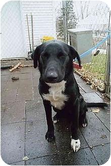 Border Collie/Labrador Retriever Mix Dog for adoption in Owatonna, Minnesota - Bentleigh