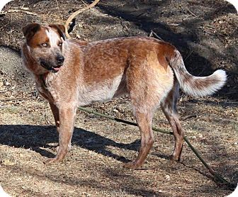 Cattle Dog Mix Dog for adoption in Gunnison, Colorado - Nas
