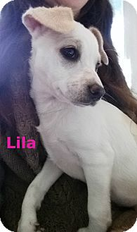 Jack Russell Terrier/Labrador Retriever Mix Puppy for adoption in Placerville, California - Lila