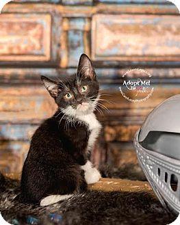 Domestic Shorthair Cat for adoption in Cincinnati, Ohio - Rennik- WAIVED FEE