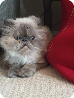 Himalayan Cat for adoption in Beverly Hills, California - Penelope