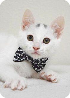 Domestic Shorthair Kitten for adoption in Dublin, California - Bumblebee