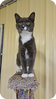 Domestic Shorthair Cat for adoption in Baudette, Minnesota - BETSY