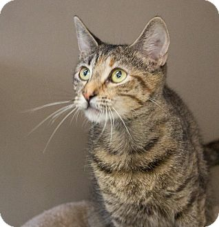 Domestic Shorthair Cat for adoption in Elmwood Park, New Jersey - Lady
